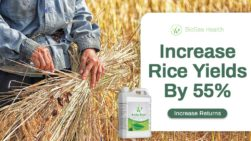 Rice yields increase with seaweed biostimulant Boost