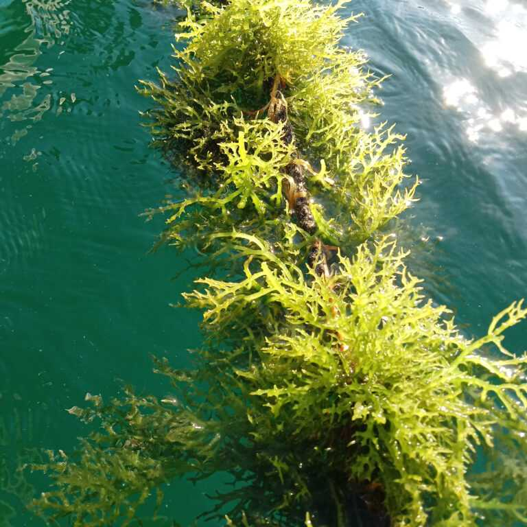 biosea health pacific seamoss grown in clean green sustainable water